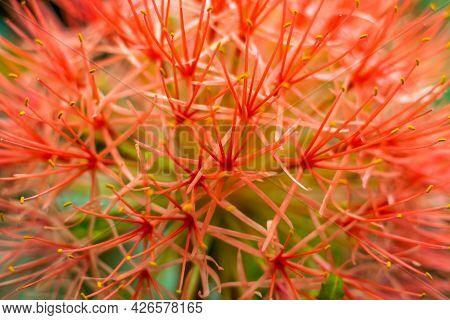 The Blood Lily Or African Blood Lily Is Part Of The Scadoxus Multiflorus Or Scadoxus Puniceus, Also