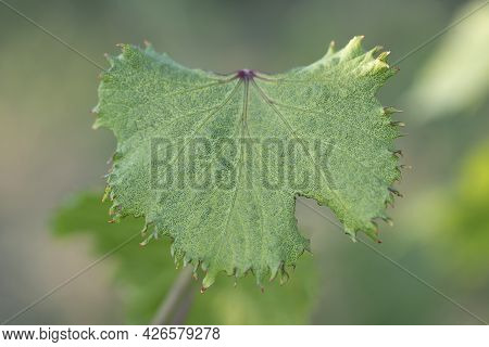 Fan-shaped Wrinkling Of Grape Leaves As Sign Of Herbicidal Burn. Damage To Grape Plants By Herbicide
