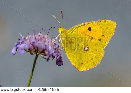 Clouded Yellow Butterfly (colias Croceus) Fedding On Nectar Of Flower On Green Background. Wildlife