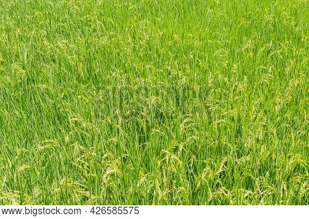 Green Paddy Field Background In Organic Rice Fileds