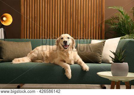 Modern Living Room Interior. Cute Golden Labrador Retriever On Couch
