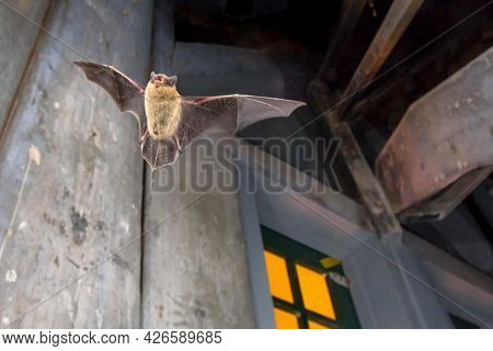 Flying Pipistrelle Bat (pipistrellus Pipistrellus) Action Shot Of Hunting Animal On Wooden Attic Of