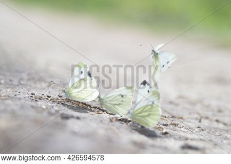 Several White Butterflies Are Feeding On The Ground, One Is Descending, Kaluga Region, Russia