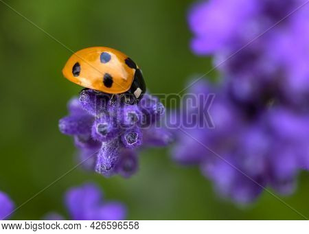 Ladybird On Lavender Beautiful Nature Background , Concept Saving The Environment Close-up Macro Sho