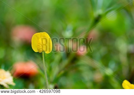 Pinto Peanut Or Arachis Pinto, Yellow Flower On Blur Nature Background With Selectived Focus Wiht Bo