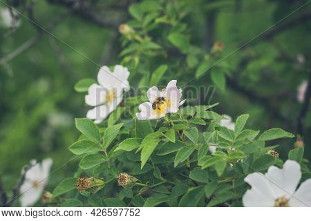 Beautiful Blooming Wild Dog Rose Bush And Bee On A Flower In Beginning Of Summer In Ukraine.