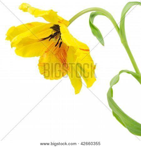 Yellow Parrot Tulip