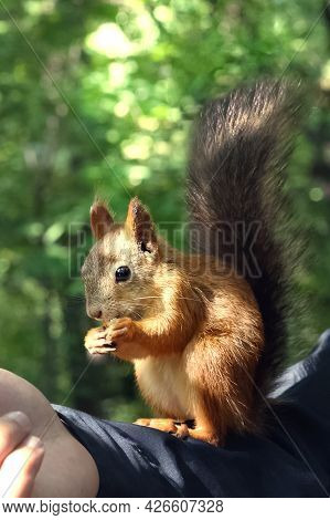 Wild Red Squirrel Sits On Human Arm Eating Nut