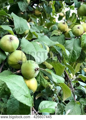 Unripe Green Apples On Tree In Summer Orchard