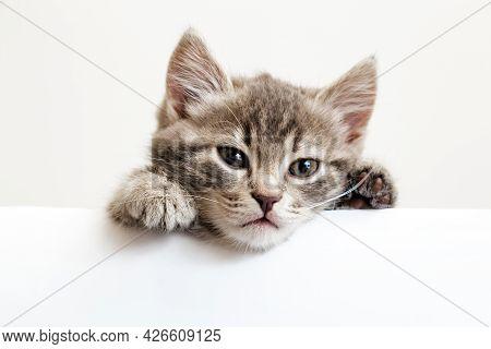 Kitten Head Portrait With Paws Peeking Over Blank White Sign Placard. Pet Kitten Curiously Peeking B