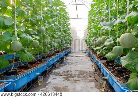 Melon Farm On Greenhouse, Melon Is A Delicious Fruit. With Fragrant And Sweet Taste Popularly Consum
