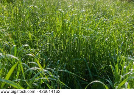 Tall Grass Covered With Morning Dew In Back Sunlight In Summer, Selective Focus