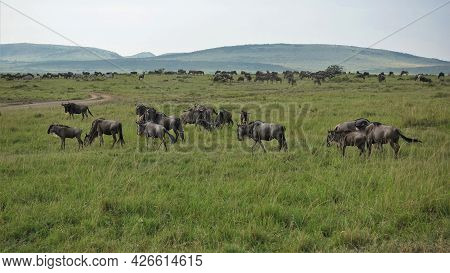 A Large Herd Of Wildebeest Graze On The Green Grass Of The African Savanna. A Dirt Road Winds Throug