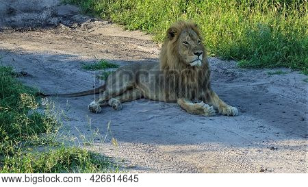 A Wild And Free Lion Lies On A Dirt Road In The Savannah. Lush Mane, Attentive Look. Traces Of Car T
