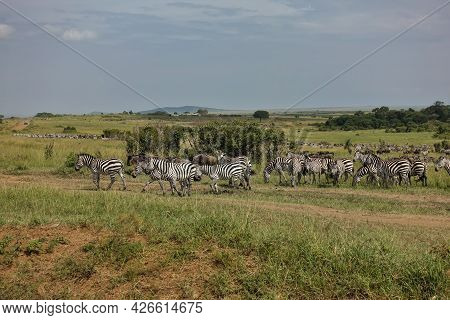 A Lot Of Zebras And Wildebeest Graze On The Green Grass. A Dirt Road Runs Through The Savannah. In T
