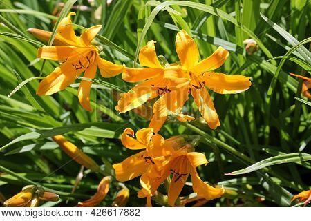 Orange Copper Daylily, Hemerocallis Dumortieri Unknown Variety, Flower With A Blurred Background Of