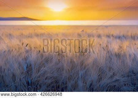 Closeup Of Ripe Barley Ears With Long Fuzzy Beards In A Field During Sunset