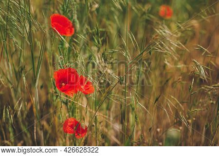 Beautiful Red Poppies In A Summer Meadow. Selective Focus.