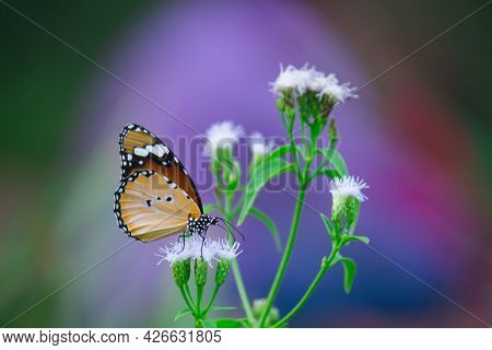 Danaus Chrysippus, Also Known As The Plain Tiger, African Queen, Or African Monarch, Is A Medium-siz