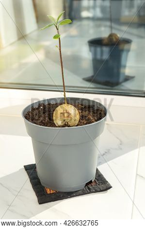 Bitcoin Plant With A Sprout And Green Leaves In A Pot On Balcony. Ecology Impact, Growth, Investment