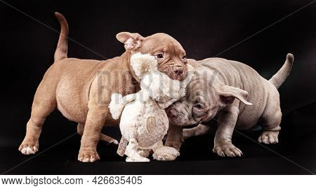 Two Purple And Brown American Bully Puppies With Uncut Ears Play With A Stuffed Toy.