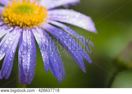 Blue Chamomile Flowers. Chamomile With Drops After Rain, Morning Dew, Moisture On The Petals. Beauti