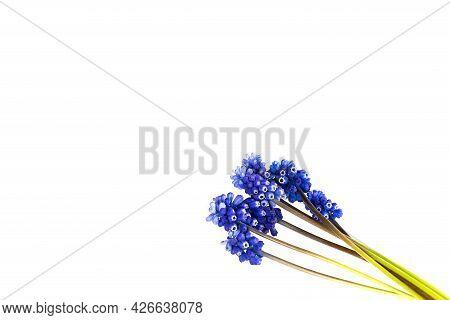 Muscari Hyacinth Blue Flowers Isolated On White Background