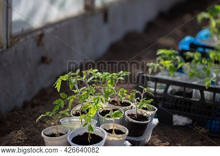 Young Green Tomato Seedling In The Greenhouse