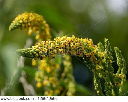 Digitalis Ferruginea, The Rusty Foxglove, Is A Species Of Flowering Plant In The Genus Digitalis Of