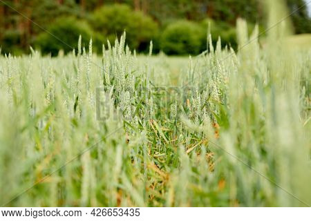 field with wheat near forest