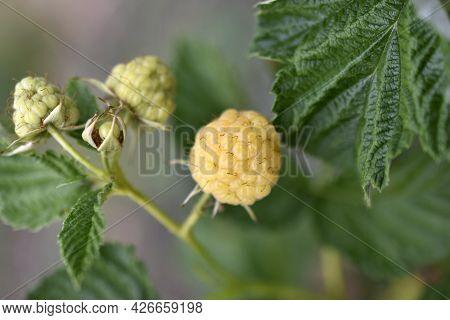 Yellow Raspberries In The Green In Summer