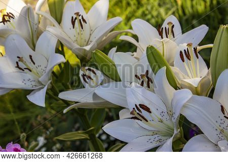 Beauty Garden Lily With White Petals Close Up Garden Photography. Lilium Plant Floral Wallpaper On A