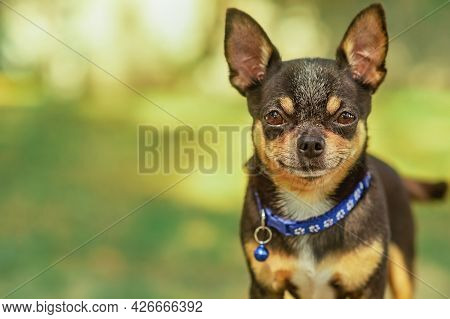 Animal Portrait. Chihuahua Dog. Stylish Photo. Green Background. Collection Of Funny Animals