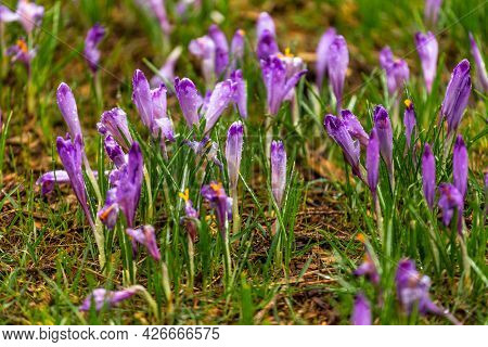 Blooming Crocuses In The Chocholowska Clearing On A Misty Spring Day. Tatra Mountains, Poland.