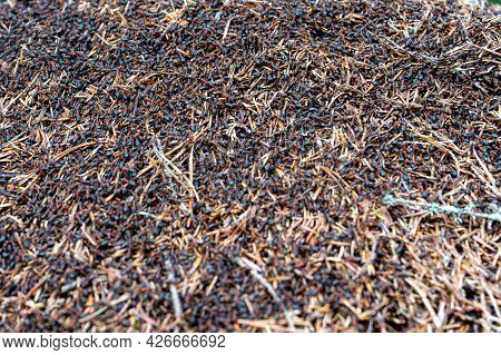 Anthill With Many Ants On The Surface. Black Forest Ants
