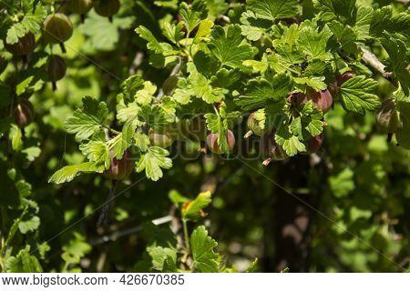 Nutrition Information About Rasbhari, Cape Gooseberries, Or Golden Berries, Golden Berry, Physalis P