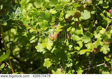 Juicy Gooseberry Detailed In The Sunlight In Spring Day On The Green Garden.