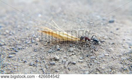 Ants With A Shiny Black Body. The Ant Drags A Large Straw With Its Proboscis. Insects And Termites.