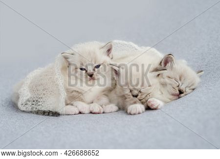 Three adorable fluffy ragdoll kittens sweety sleeping together under knitted blanket on light blue fabric during newborn style photoshoot in studio. Cute napping resting kitty cats portrait