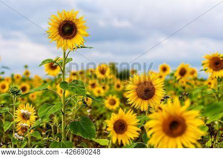 Sunflower Field In Sunshine, Bright Vibrant Flower Landscape In Summer Time, Beautiful Sun Flower Bl