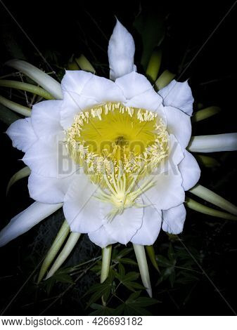 Lady Of The Night Flower In Bloom. Common Around Veracruz, Mexico, It Is Also Called Belle De Nuit,