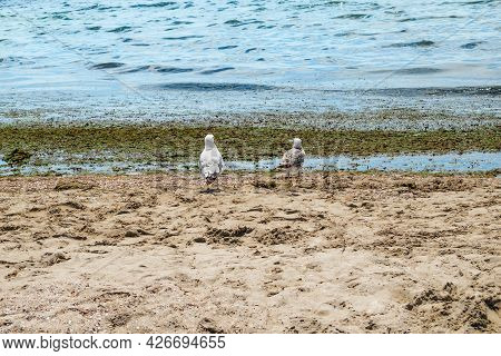 Two Seagulls Stand On The Shore Of The Dirty Black Sea In Zaliznyi Port (ukraine) - Back View. Seabi