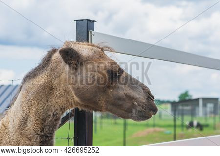 Brown Cute Camel Head Is Behind The Fence.camel Peeps Out Of The Fence At The Zoo In A Summer.
