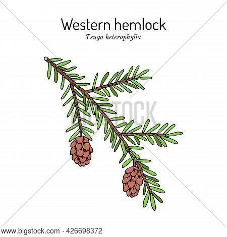 Western Hemlock Spruce Tsuga Heterophylla , State Tree Of Washington. Vector Hand Drawn Illustration