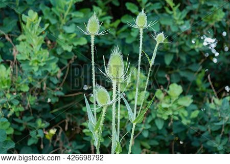 Dipsacus, Green Flowering Plant: Teasel With Prickly Stem.