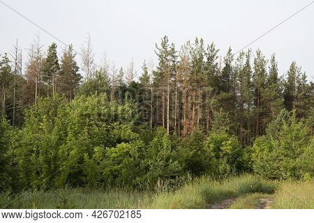 Landscape View Of A Green Forest With Several Brown Diseased Spruce Trees