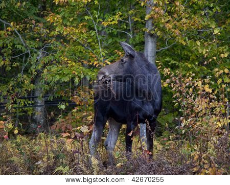 Moose Calf, Front View