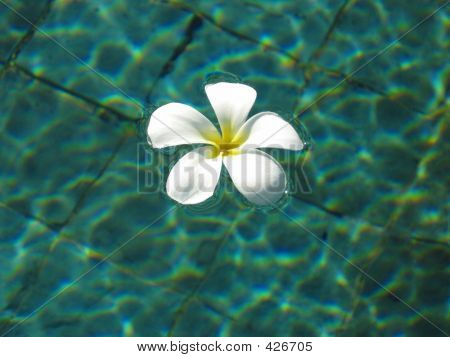 Frangipani In Pool 2