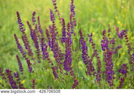 Bright Flowering Salvia Nemorosa Violet Flowers In A Sunny Meadow