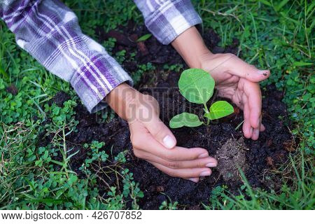 Hand Agriculture Farmer Holding Plant Small Tree Eggplant Growing In Soil. Vegetable Growing Experim